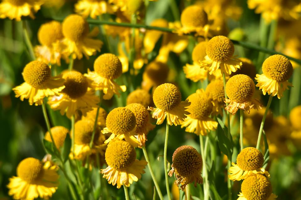 1DiamondAngel Sneezeweed is a unique & showy wildflower that blooms in the late summer or autumn. custom pic 1